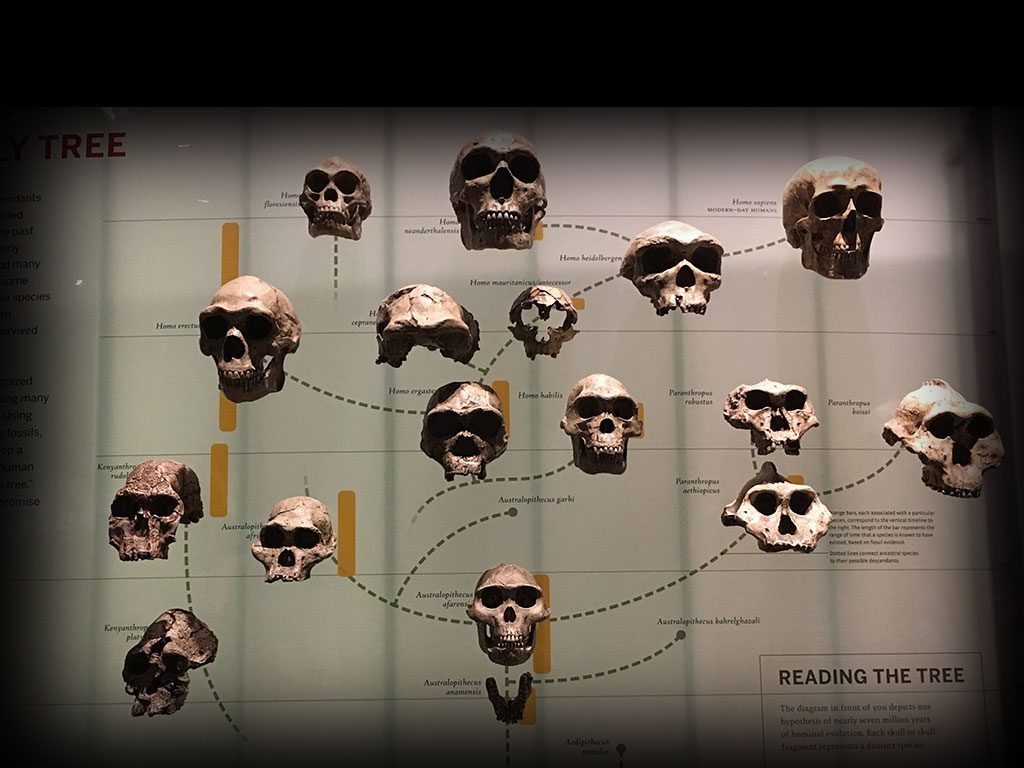 skulls representing the species homo family tree, The Museum of Natural History